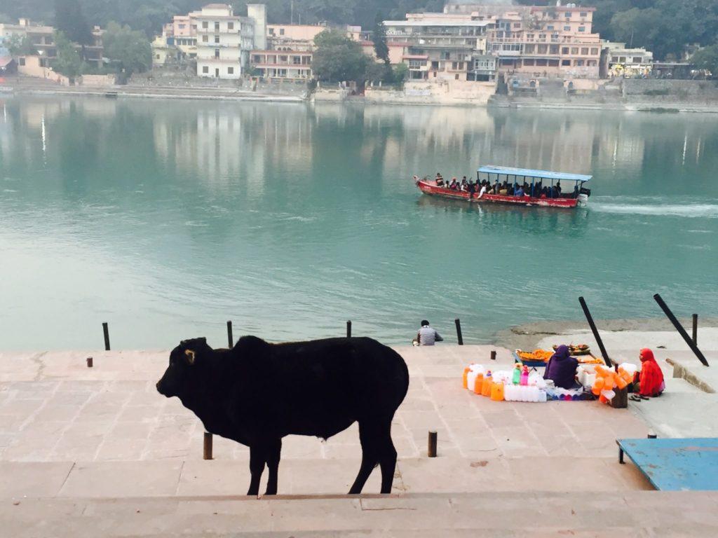 vaca sagrada en el río Ganges en Rishikesh, capital mundial del yoga